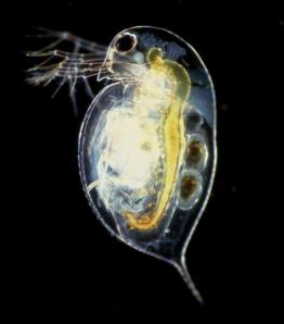 A water-flea, Daphnia pulex