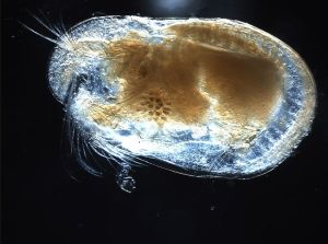 A seed-shrimp or ostracod