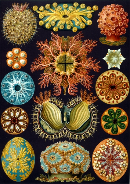 Sea anemones by Ernst Haeckel