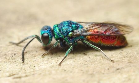 Ruby-tailed wasp, Chrysis ignita