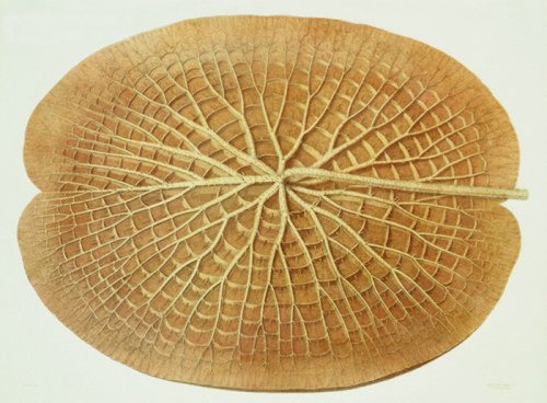 """William Sharp, """"Victoria Regia or the Great Water Lily of America (Underside of a Leaf)"""" (1854), viâ Jeff Thompson"""