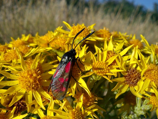 Cinnabar moth on ragwort